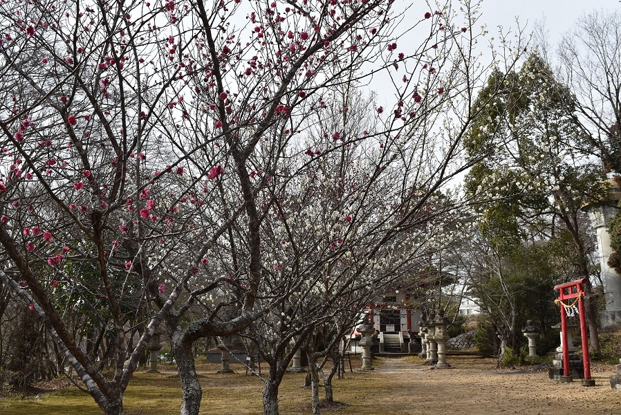 旧井上家住宅西洋館下の紅梅と前田公園の紅白の梅が見頃を迎えています